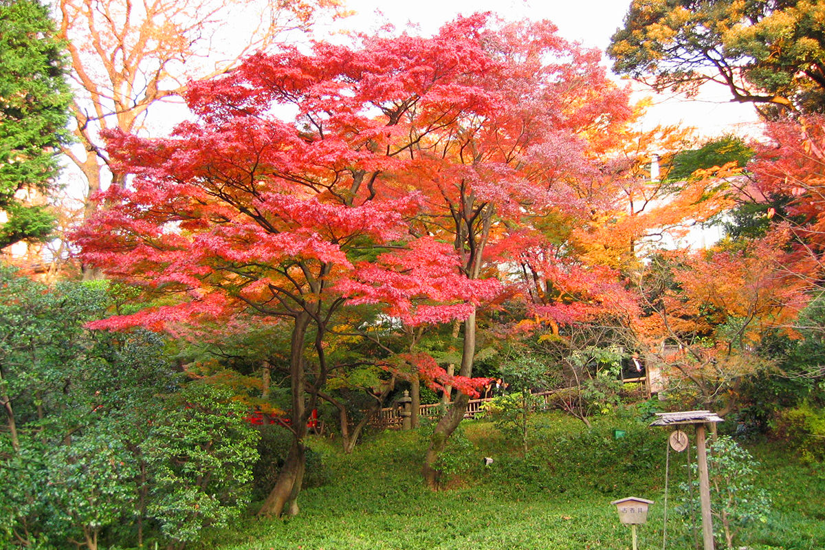 The Fall and a Japanese maple.