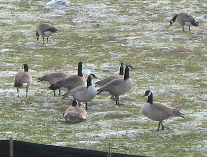 Killer Geese Rampage