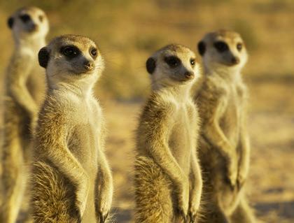 Cute little meerkats standing in the desert.
