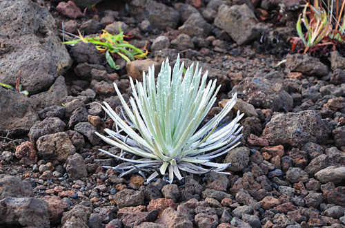 Baby Silversword