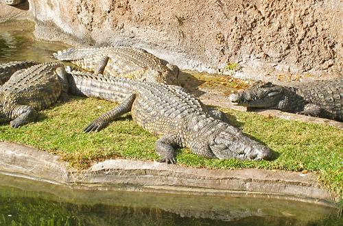 Animal Kingdom: Gator