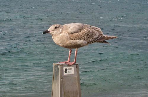 Alki Bird