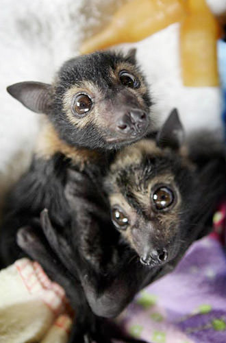 Baby Fruit Bats!