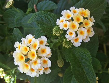 iPhone Macro Flowers