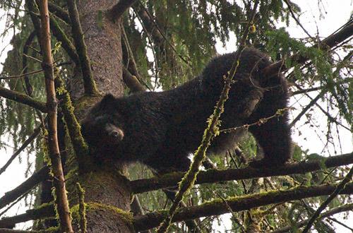 Momma Bear in a Tree