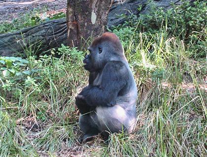 Safari Ape