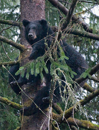 Another Bear in a Tree