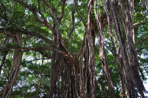 Banyan Tree Photo