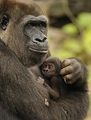Disney Gorilla