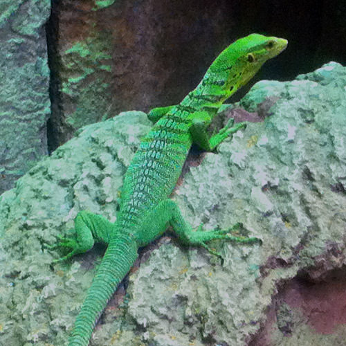 Shark Reef Lizard