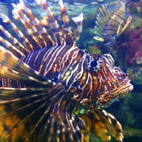 Shark Reef Lion Fish