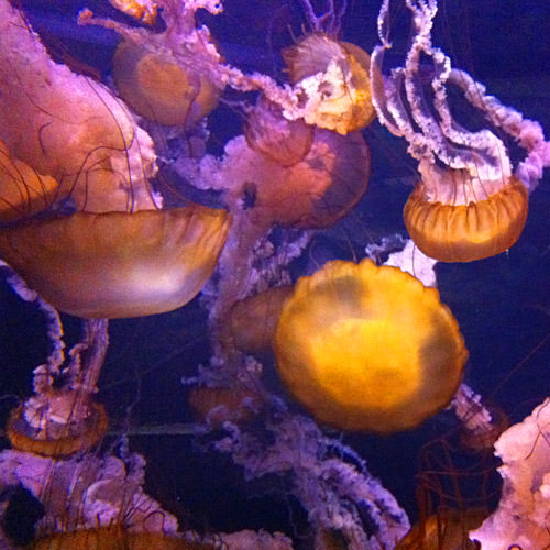 Shark Reef Jelly Fish