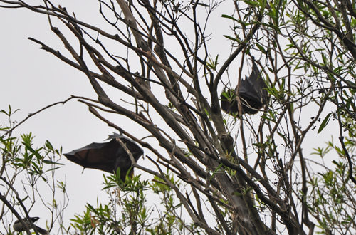 Royal Botanic Gardens BATS!