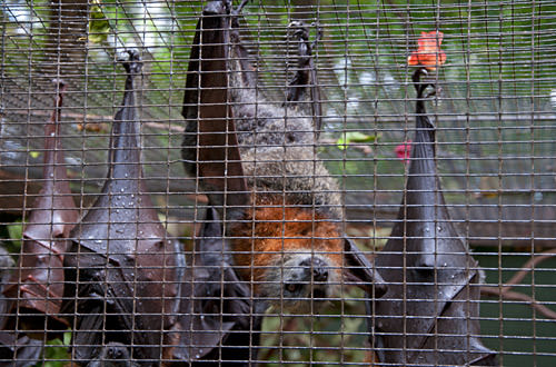 Soggy bats try to sleep through the rain