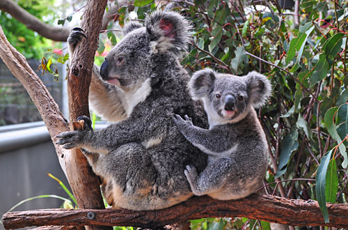 Momma and Baby Koalas