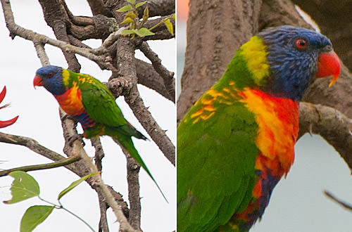 how to look after a lorikeet