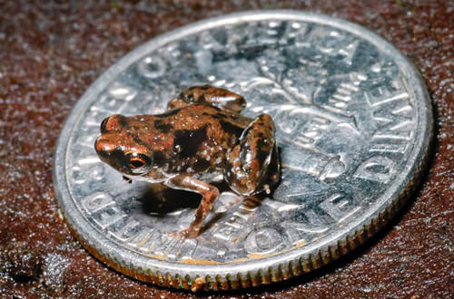 Tiny, tiny, impossibly tiny frog on a dime.