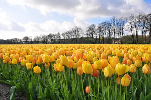 Bulb Fields Yellow Tulips