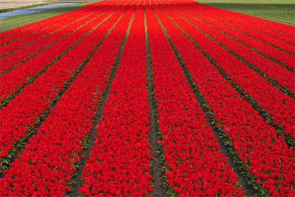 Red Tulips Fields