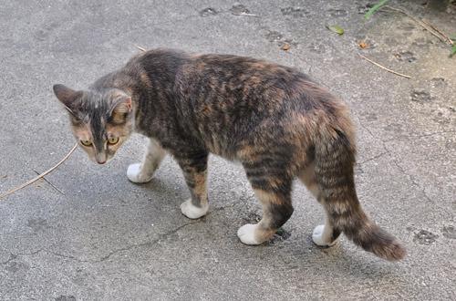 Hemmingway Cat!
