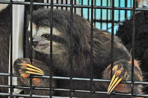 Caged Sloth