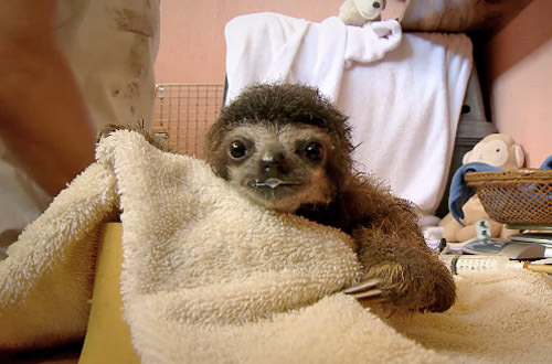 Baby Sloth has a Bath!