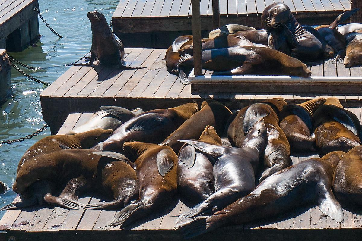 Sea Lions Sunning in San Francisco