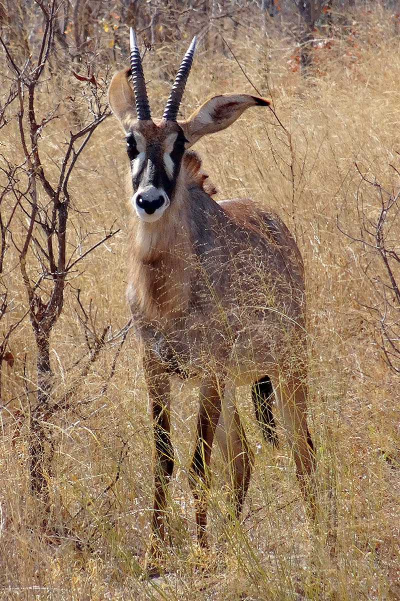 Hwange Antelope