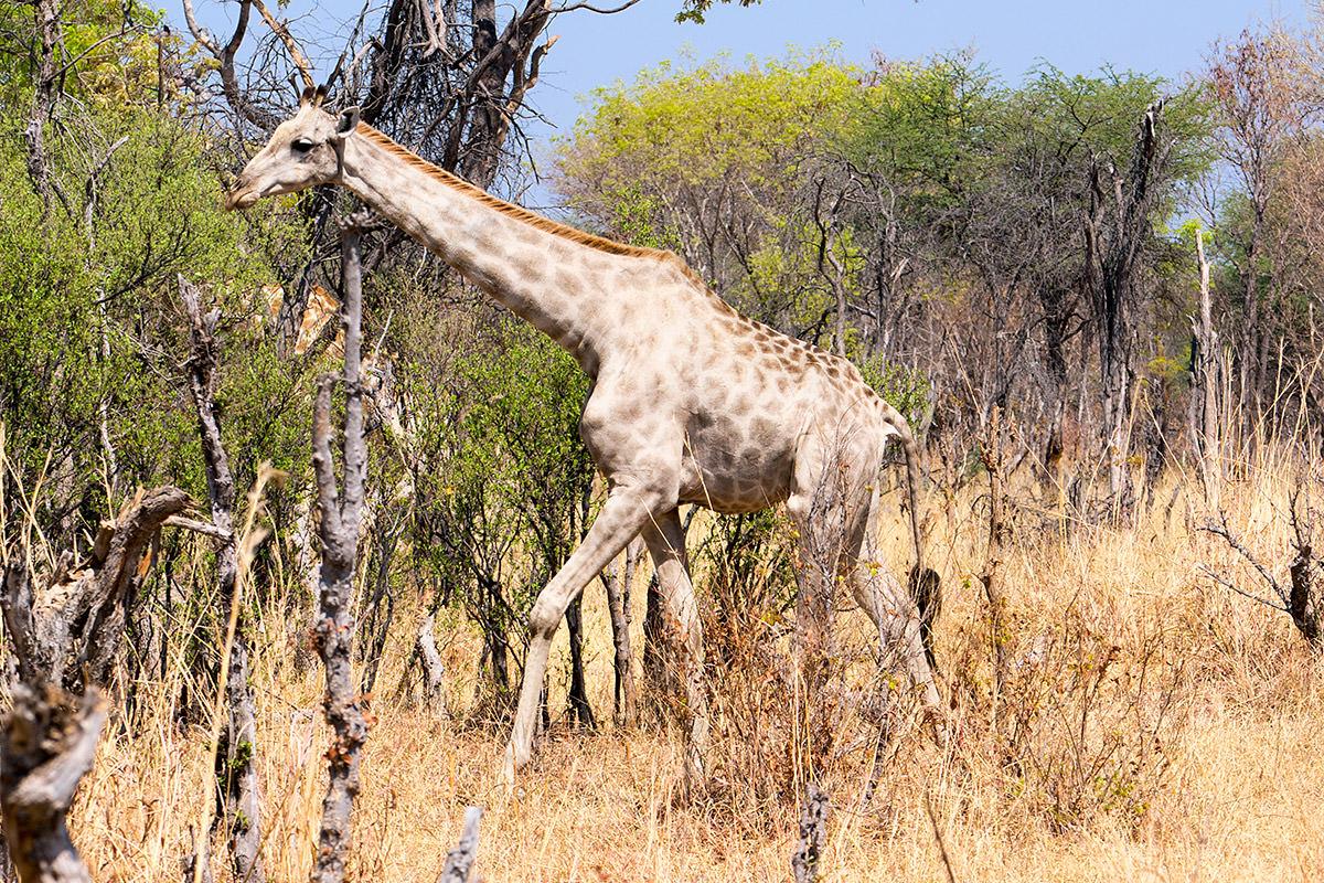 Hwange Giraffe