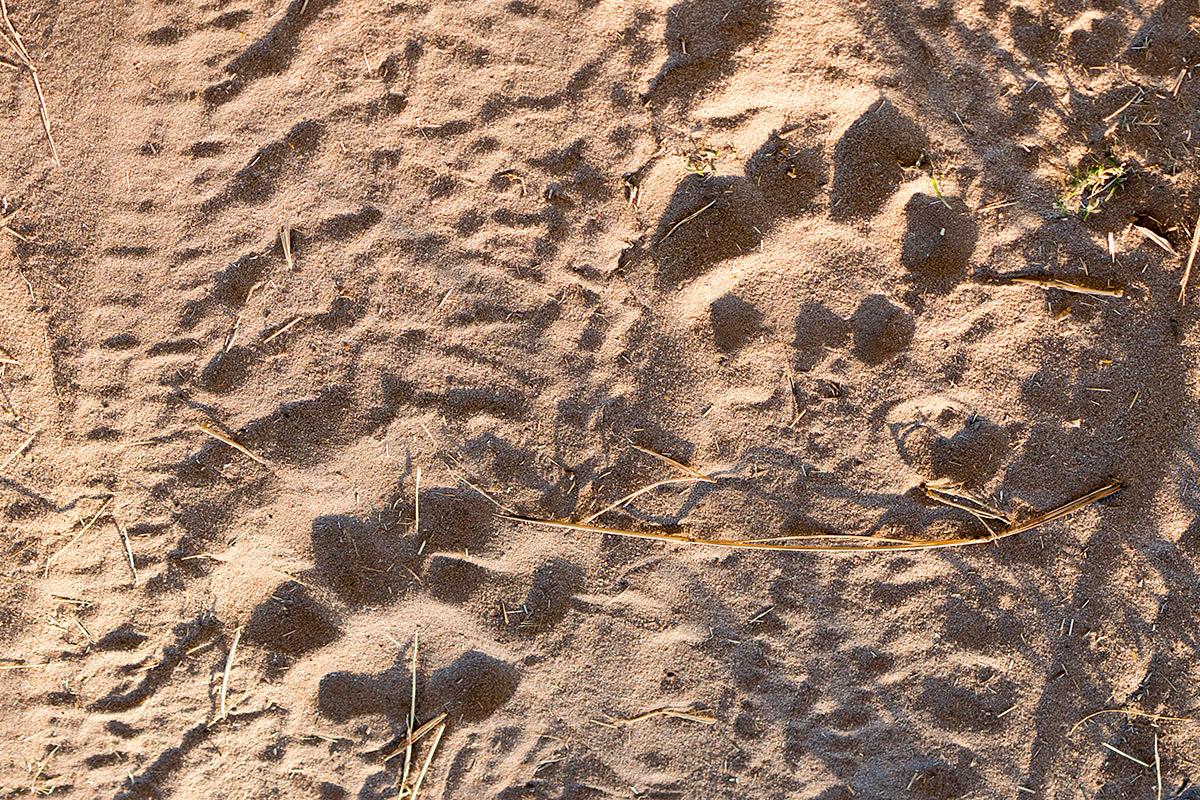 Hwange Lion Tracks