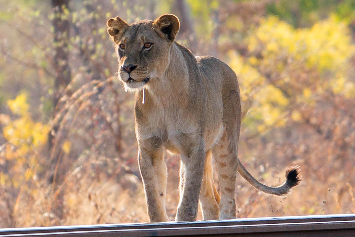 Hwange Lioness