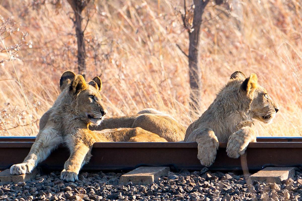 Hwange Lion Cubs