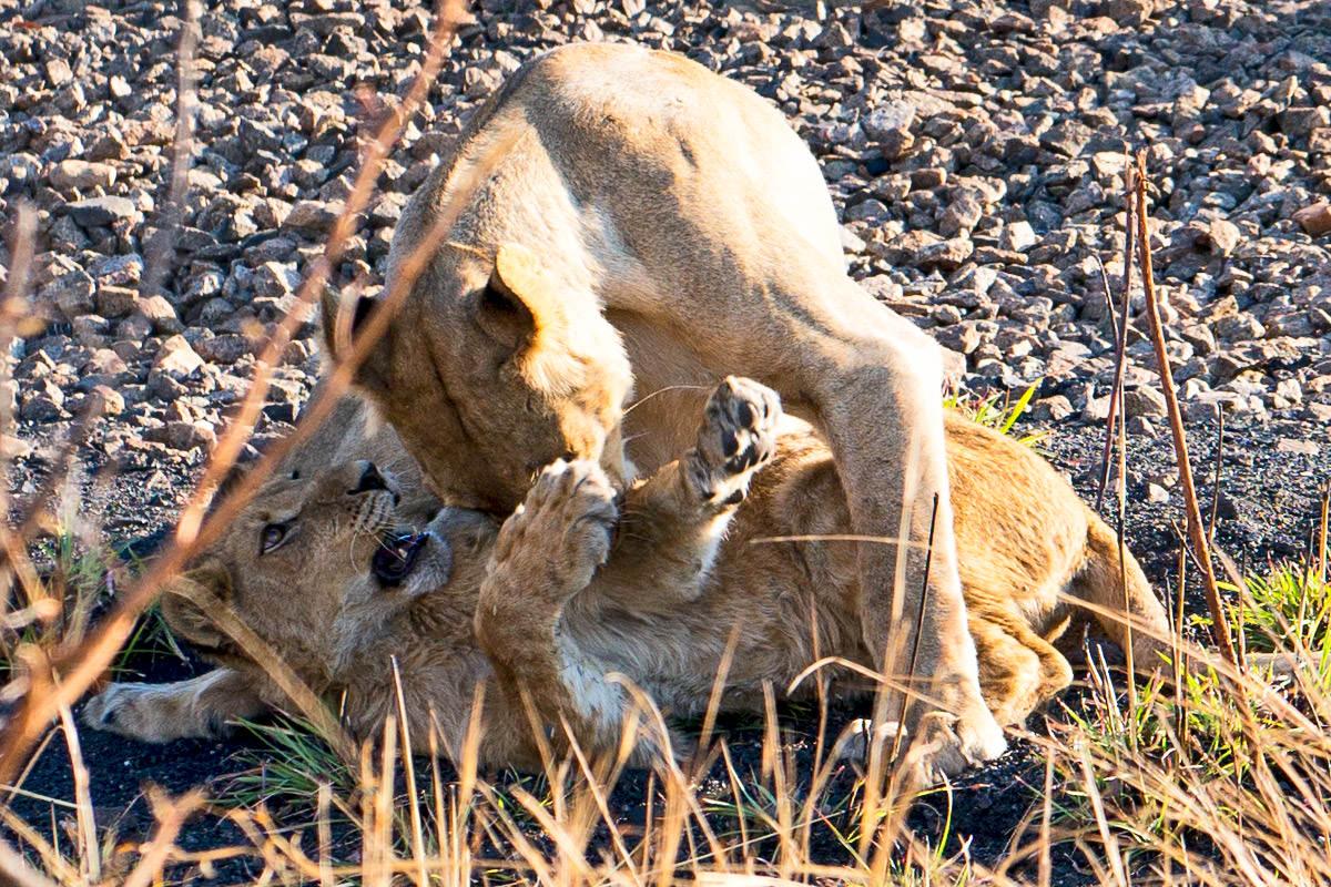 Hwange Lion Cub Bath
