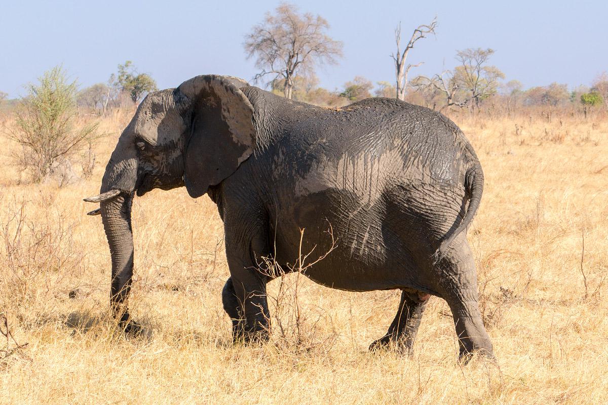 Hwange Pregnant Elephant