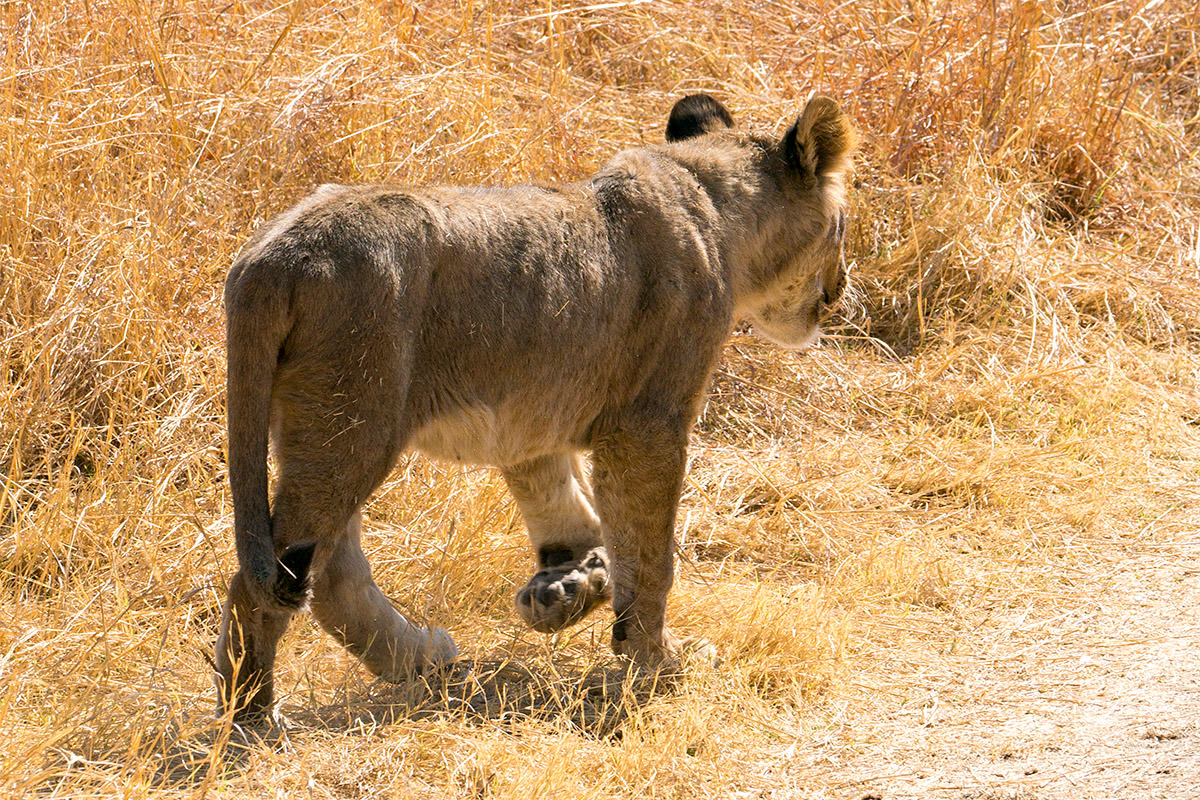 Hwange Lion Cub