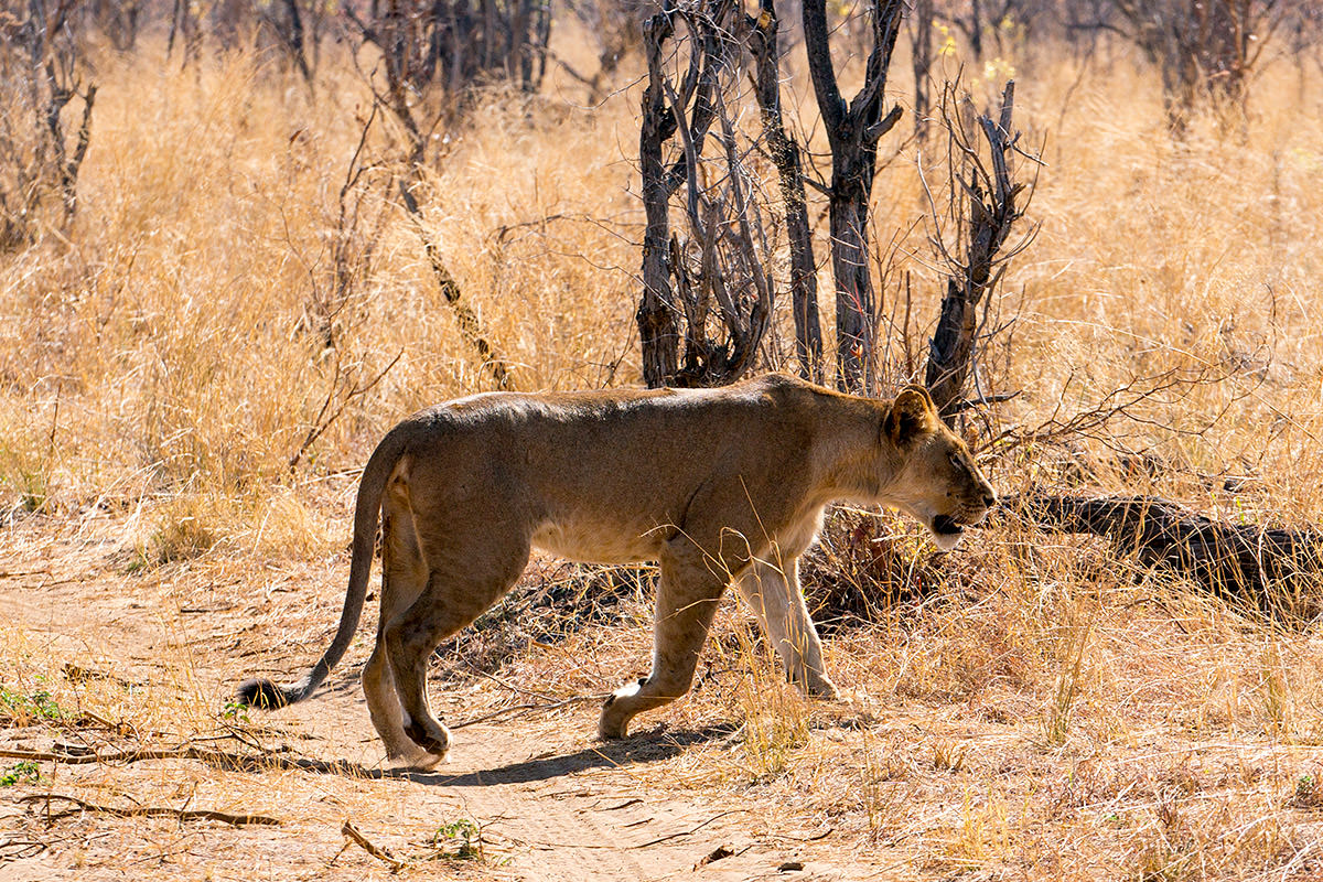Hwange Lionness