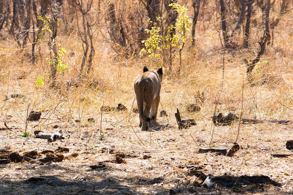 Hwange Lion Cub Goodbye