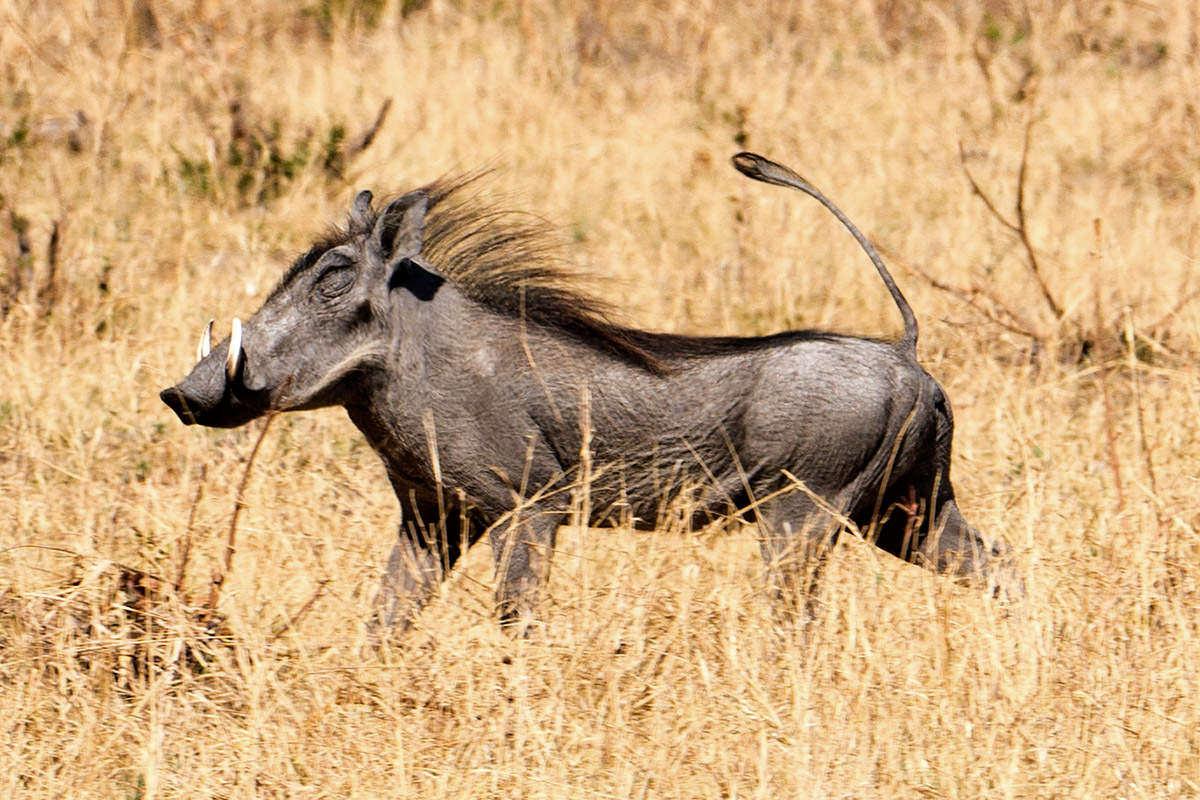 Hwange Warthog