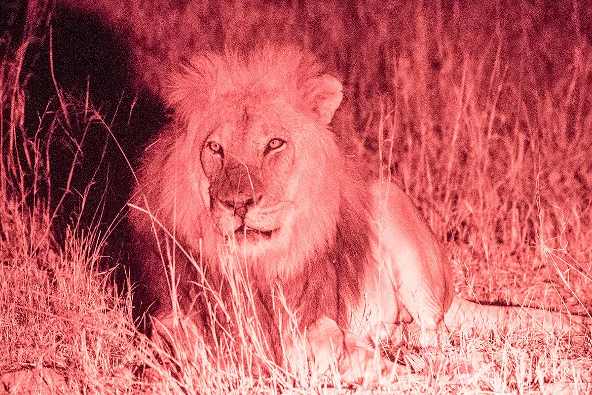 Hwange Lions at Night