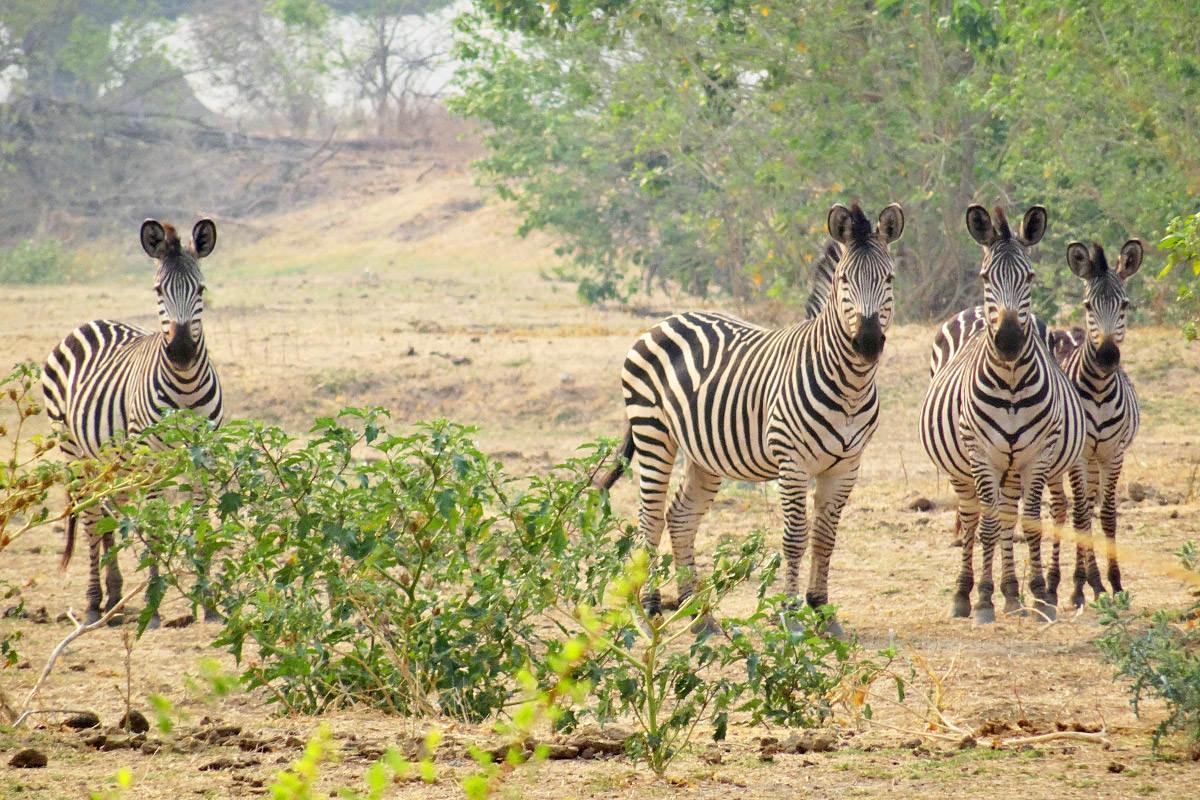 Mana Pools Zebra