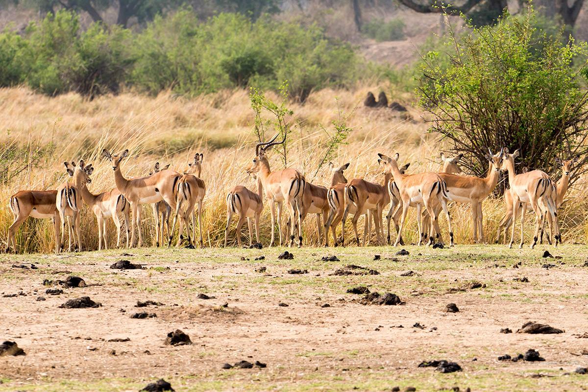 Impala in Zimbabwe