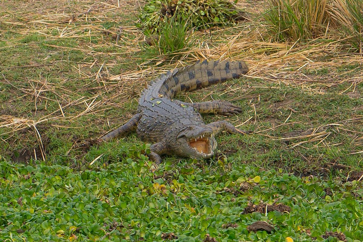 Crocodiles of Zimbabwe