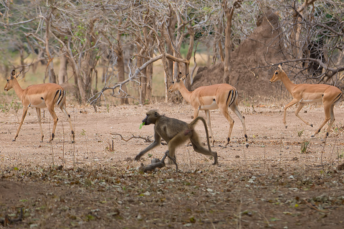 A Baboon Running with Impalas While Eating Leaves