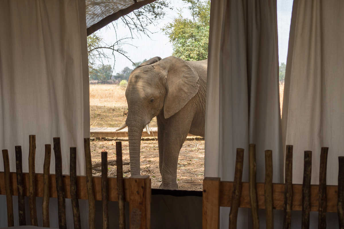 Elephants at my Tent!