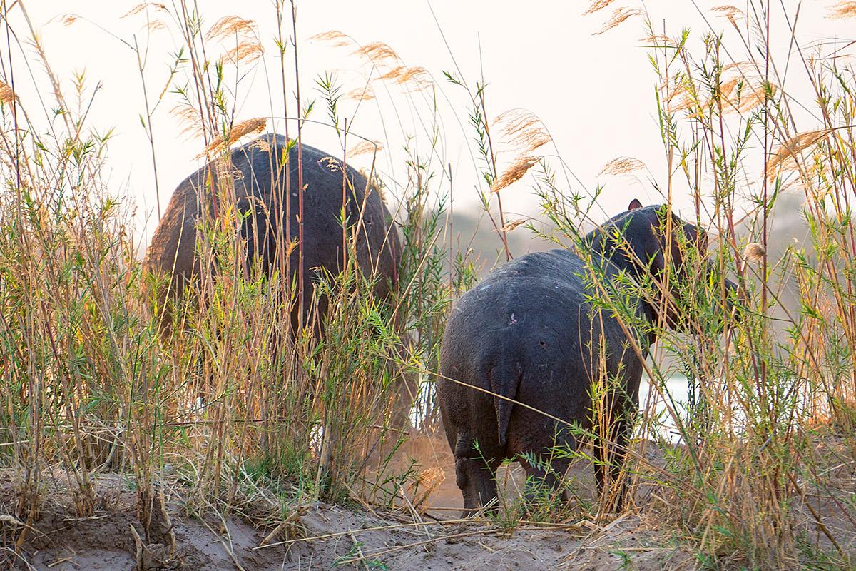 Hippos in the Zambezi