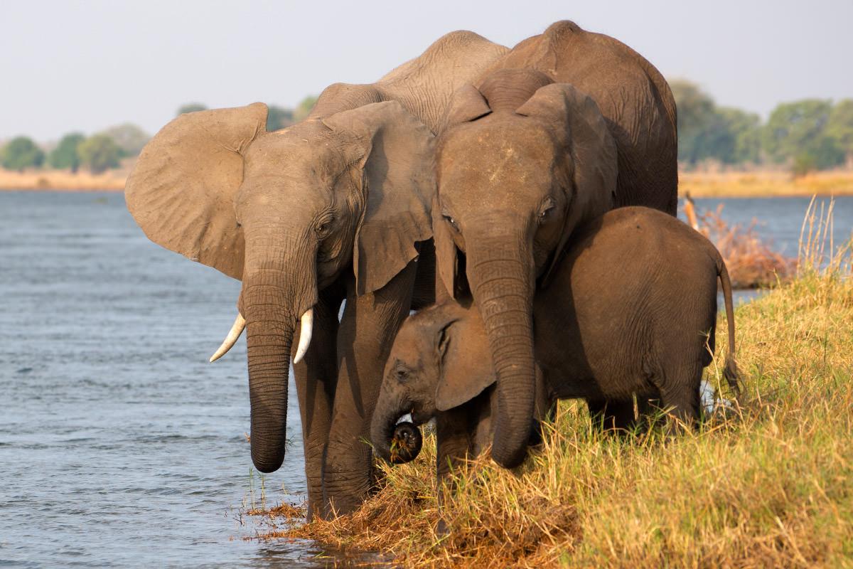 Elephants in the Zambezi