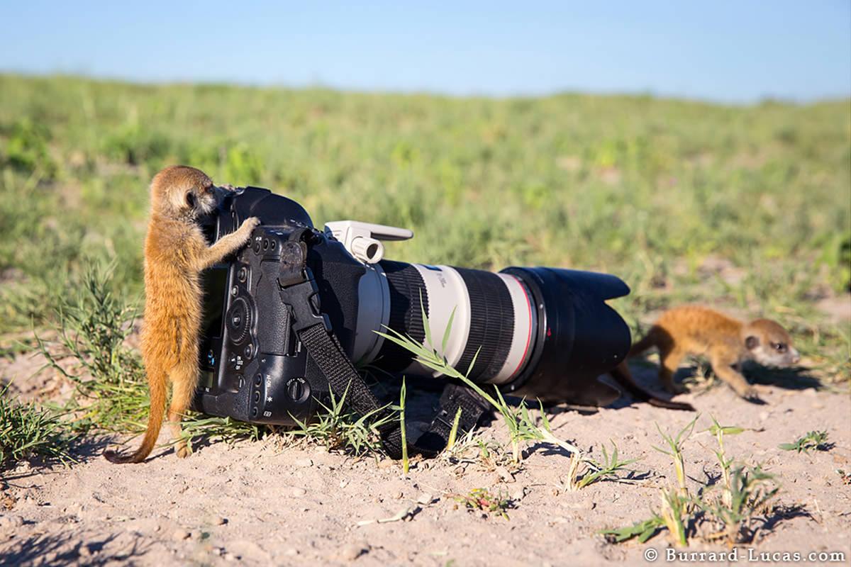 Meerkats by Will Burrard-Lucas