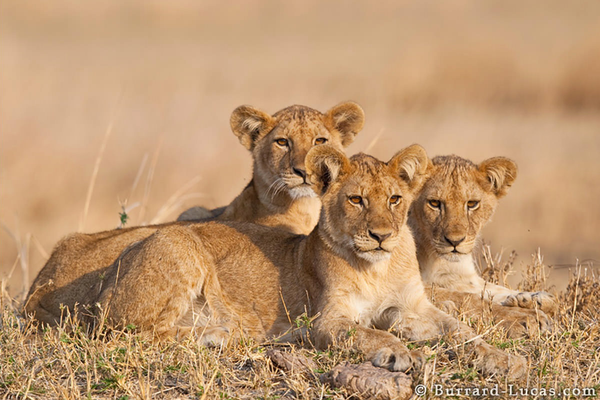Lions by Will Burrard-Lucas