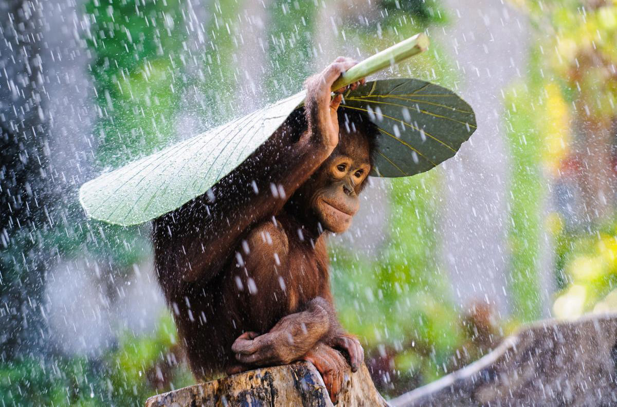Orangutan in the Rain Photo