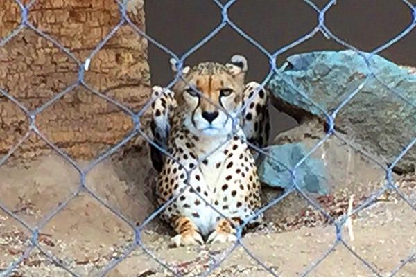 San Diego Zoo Kitty